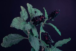 Detail of a American pokeweed (Phytolacca americana) plant in the forest. Beautiful dark Background pattern for design.