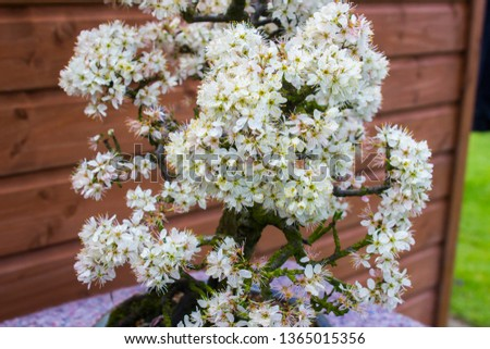 Detail of a beautiful blackthorn bonsai cultivated by a bonsai enthusiast in Northern Ireland in spring flower