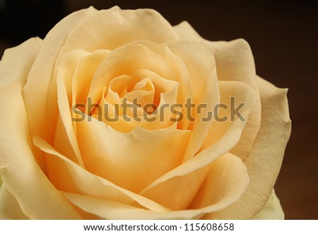 Detail of a beautiful rose - stock photo