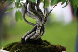 detail of a bonsai tree