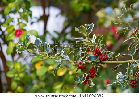 Detail of a branches of Ilex aquifolium, holly, common holly,  or occasionally Christmas holly.