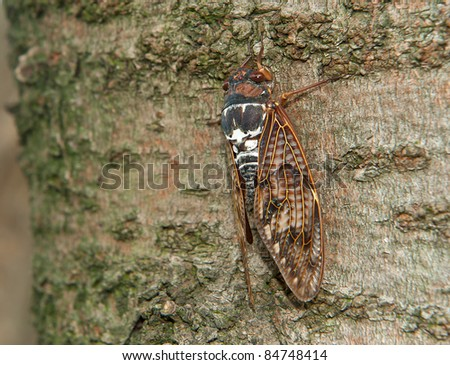 Detail of a cicada siting on the tree stem