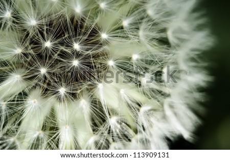 detail of a dandelion on green background / Dandelion