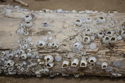 Detail of a dead tree trunk covered with shells (Cirripedi). Crustaceans Cirripedia. Unusual marine background.