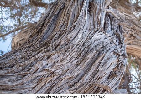Detail of a dried up cedar  tree texture  ,Chrissi island,Greece