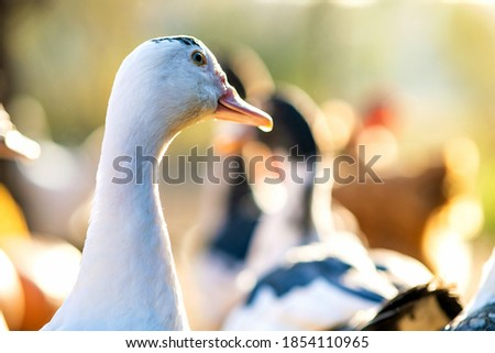 Detail of a duck head. Ducks feed on traditional rural barnyard. Close up of waterbird standing on barn yard. Free range poultry farming concept. Photo stock ©