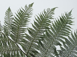 Detail of a fern leaf against the light at a rainy day
