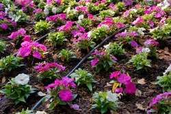 Detail of a flowerbed equipped with an irrigation system, with purple and white small flowers