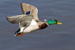 detail of a flying duck