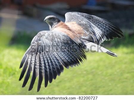 Detail of a flying Variable Hawk during a falconry training