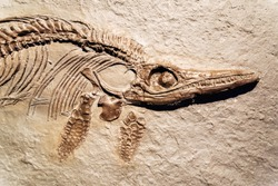 Detail of a fossil Ichthyosaurus.