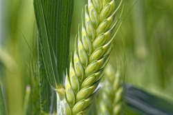 Detail of a green Emmer wheat (Triticum dicoccum) spike.