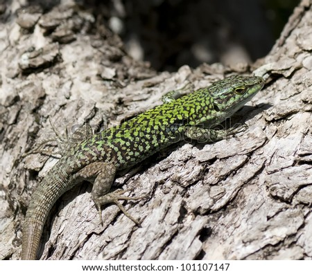 detail of a lizard on a olive tree