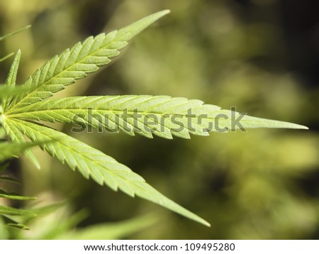Detail of a marijuana plant. A plant that creates debate and controversy