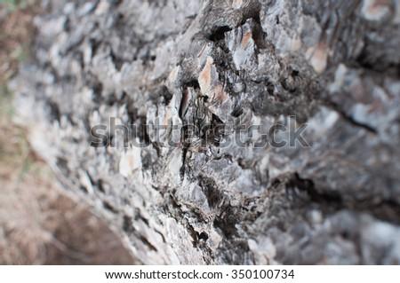 detail of a Mediterranean pine trunk
