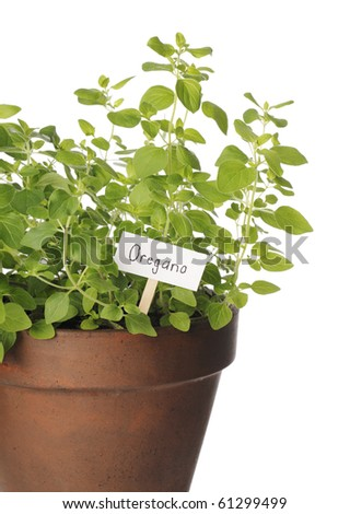 Detail of a potted oregano herb plant