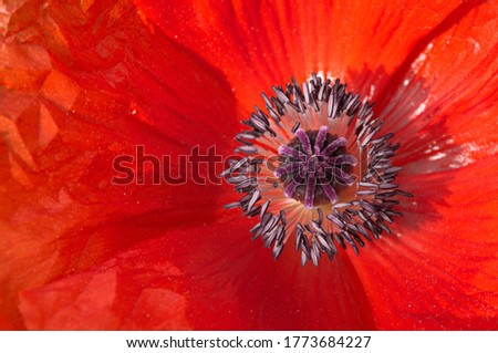 detail of a red flower