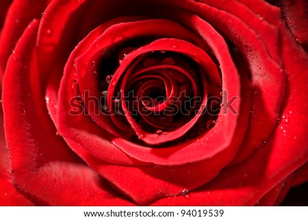 detail of a red wet rose with strong contrast