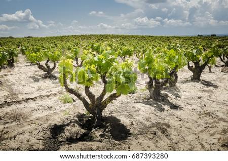 Shutterstock Detail of a Rivera del Duero vineyard at Aranda del Duero in Burgos, Spain.