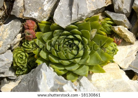 Detail of a Sempervivum plant