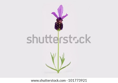 Detail of a single purple lavender flower on the stalk with leaves, isolated on the white background