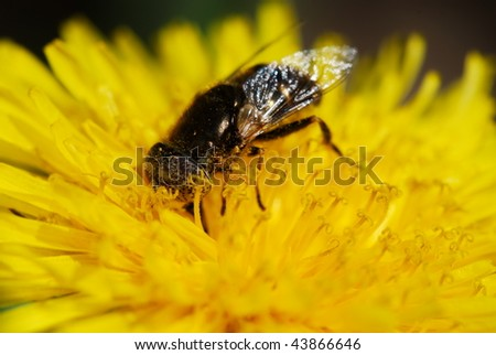 Detail of a Syrphid fly on yellow dandelion flower (very selective focus only on bugs eye)
