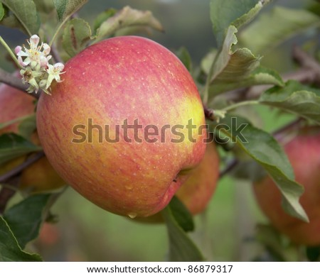 detail of a wonderful apple in red, orange and yellow colors in natural ambiance