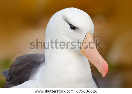 Detail of albatross. Bird portrait. Albatross sitting on the cliff. Albatross from Falkland Island. Portrait of sea bird in the nature habitat. Beautiful sea bird Black-browed albatross. #695606626