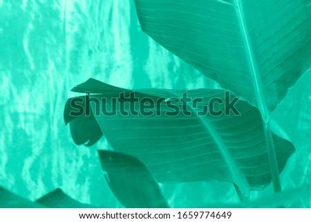 Detail of banana leaves in aqua menthe tones Stock photo ©