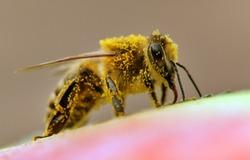 detail of bee or honeybee in Latin Apis Mellifera, european or western honey bee