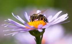 detail of bee or honeybee in Latin Apis Mellifera, european or western honey bee sitting on the violet or blue flower