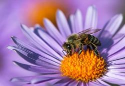 detail of bee or honeybee in Latin Apis Mellifera, european or western honey bee sitting on the yellow violet purple or blue flower