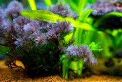 detail of black beard algae or brush algae (Audouinella sp., Rhodochorton sp.) growing on aquarium plant leaves with blurred background
