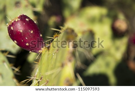 Detail of Cactus Pear Plant common in Arizona