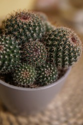 Detail of cactus with many round branches in a small round grey pot on wooden plate / cactae