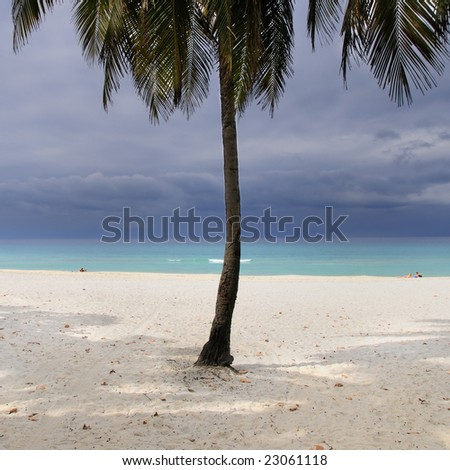 Detail of coconut palm tree on tropical stormy beach on varadero, cuba.