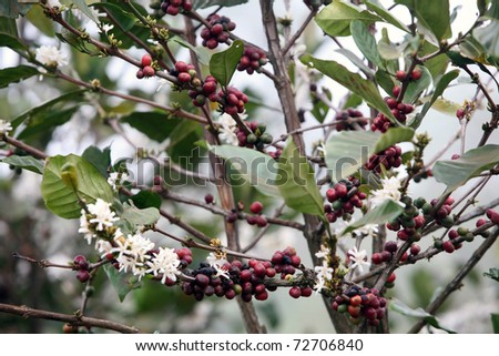 Detail of coffee blossom tree on plantation
