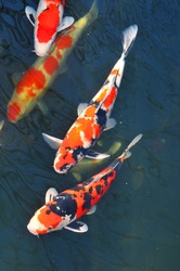 Detail of colorful koi fish in the pond
