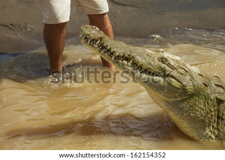 Detail of crocodile with human legs in  the background. Interaction between wild and dangerous animal and human.
