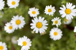 Detail of daisies in a sunny day in Barcelona, Spain. Shot during spring time