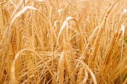 Detail of dry ears of wheat in a Mediterranean plantation.