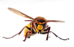 detail of European hornet in latin Vespa crabro isolated on white background