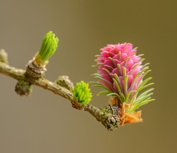 detail of female seed cone flower of European larch (larix decidua) at the end of twig