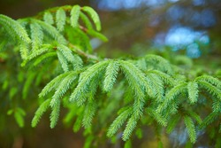 Detail of fir branches at blurred background. branch, macro