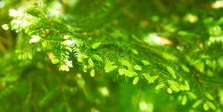 Detail of fir needle at blurred background. branch, macro