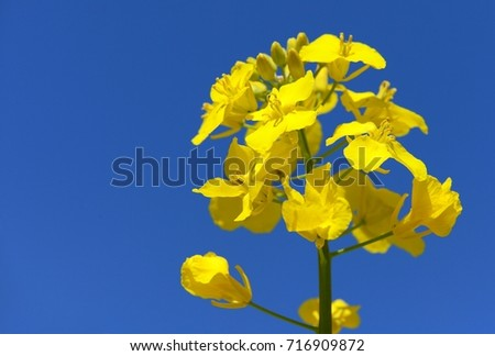 detail of flowering rapeseed canola or colza in latin Brassica Napus, plant for green energy and oil industry, rape seed on blue sky background #716909872
