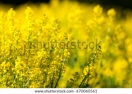 detail of flowering rapeseed field. Rapeseed field. #670060561