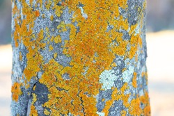 Detail of fungus on the bark of a tree. The bark of trees is often used for placement of plant parasites, including mosses, fungi and lichens.