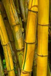 Detail of golden bamboo. Close up shot