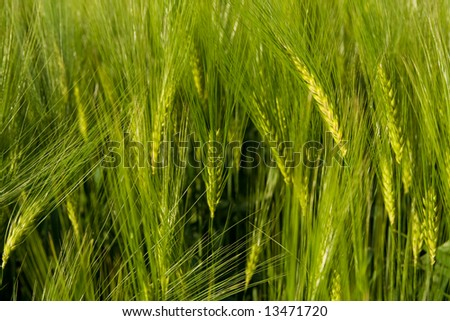 Detail of green growing wheat - close up.
